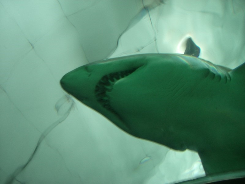 sharks-teeth