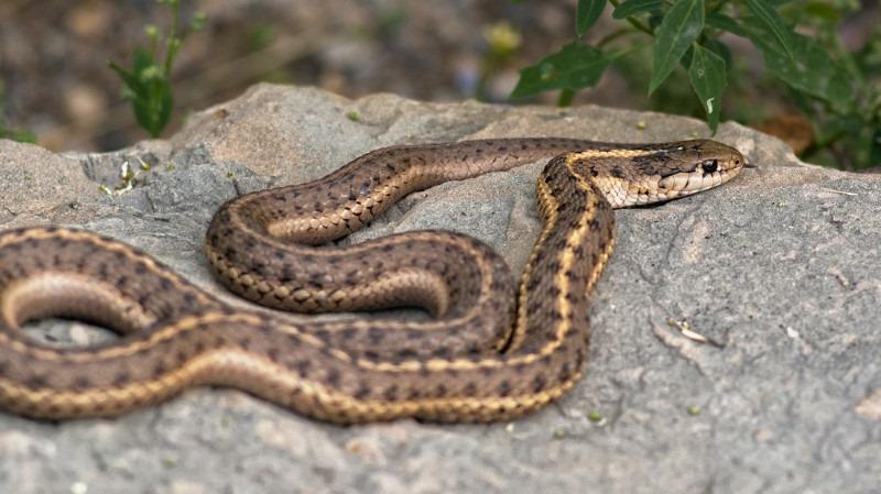 snake-on-rock
