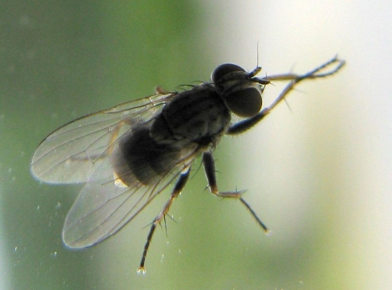 the-housefly