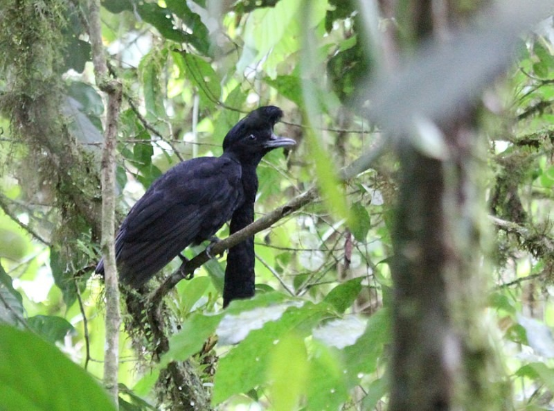 long-wattled-umbrellabird