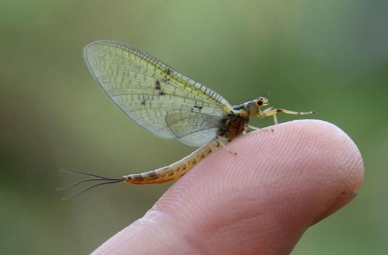 1-mayfly