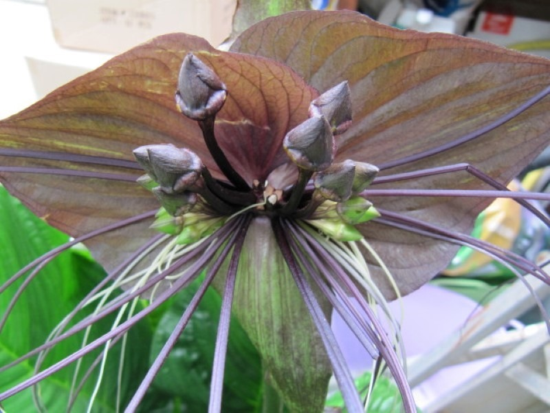 black-bat-flower