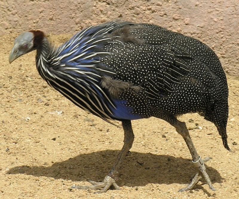 vulturine-guinea-fowl