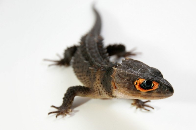 1-red-eyed-crocodile-skink
