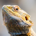 10-armadillo-girdled-lizard.jpg